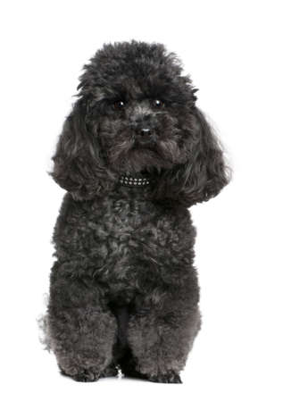 collar: toy poodle (4 yeras old) in front of awhite background