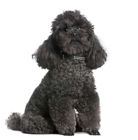 white collar: toy poodle (4 yeras old) in front of awhite background