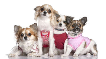 group of 4 chihuahuas dressed-up in front of a white background photo