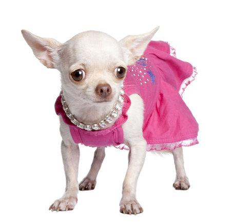 perros vestidos: chihuahua delante de un fondo blanco Foto de archivo