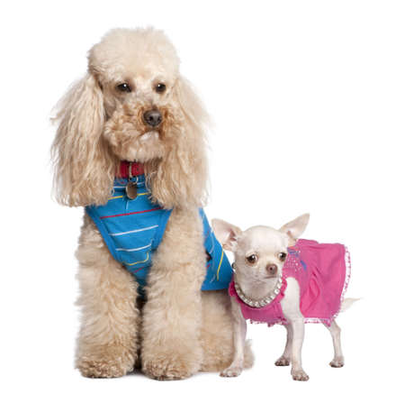 suited up: Poodle and chihuahua in front of awhite background