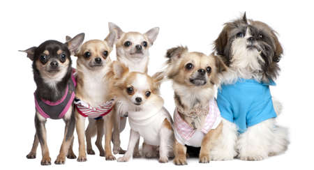 Group of dogs dressed-up : 5 chihuahuas and a  Shih Tzu in front of a white background photo