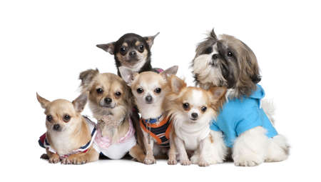 shih tzu: Group of dogs dressed-up : 5 chihuahuas and a  Shih Tzu in front of a white background