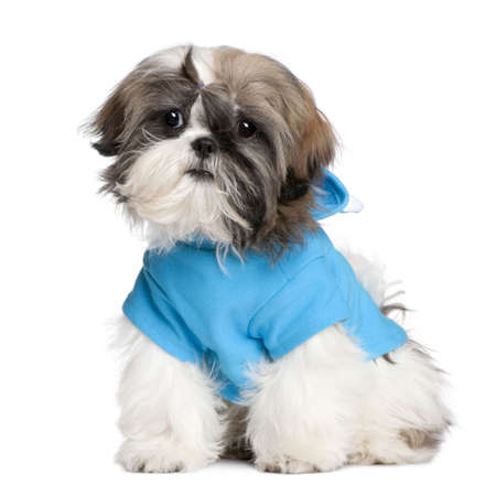 Shih Tzu with dresses in front of a white background photo