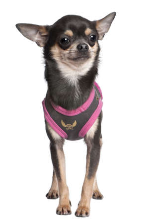 suited up: chihuahua dressed-up in front of a white background Stock Photo