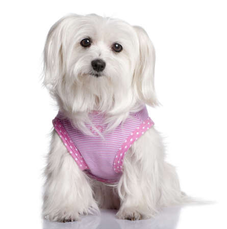 maltese dog dressed-up (7 years old) in front of A white background photo