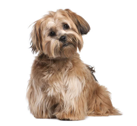 Shih Tzu puppy (8 months old) in front of a white background photo