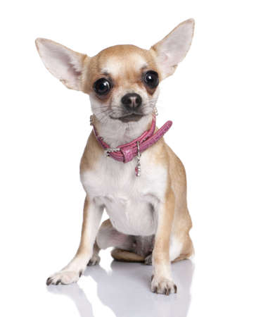 minuscule: chihuahua in front of a white background