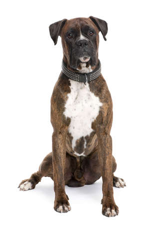 white collar: Boxer (4 years old) in front of a white background