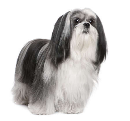 lapdog: Lhasa Apso Lhasa Apso (4 years old) in front of white a background