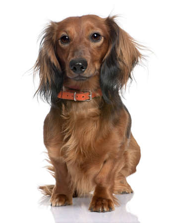 doxie: Dachshund in front of a white background