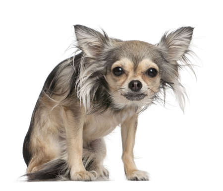 long haired chihuahua: long haired chihuahua  looking at the camera  (2 years old) in front of a white background Stock Photo