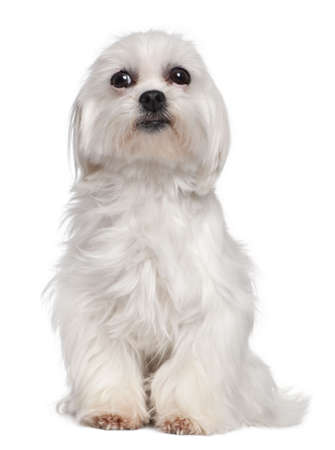 Mixed-Breed Dog with a maltese dog in front of a white background photo