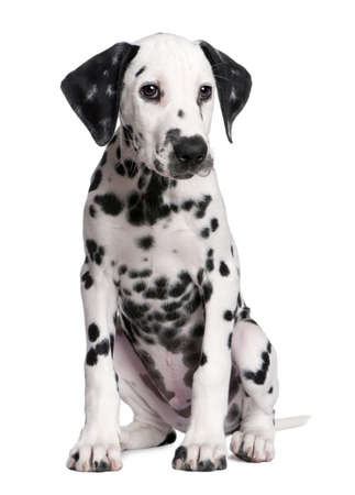whelp: Dalmatian puppy in front of a white background Stock Photo