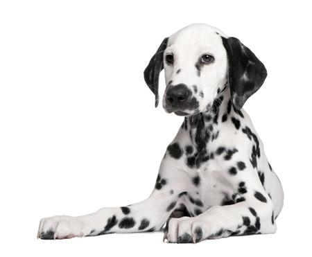 dalmatier: Dalmatiër puppy ten overstaan van een witte achtergrond Stockfoto