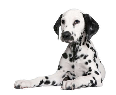 Puppy dalmate de fond blanc