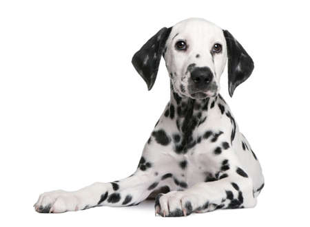 pet grooming: Dalmatian puppy in front of a white background Stock Photo