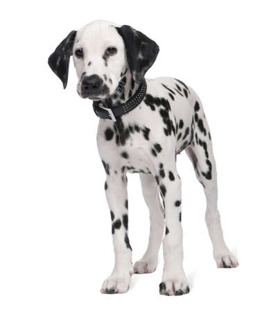 dalmation: Dalmatian puppy in front of a white background Stock Photo