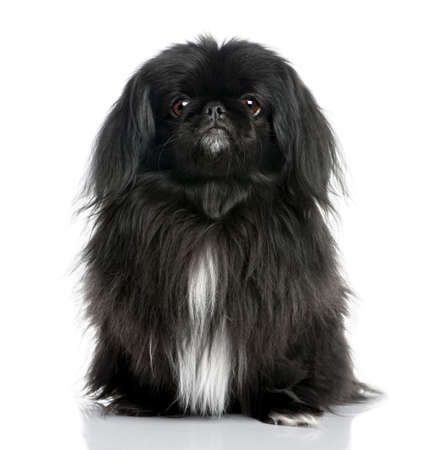minuscule: Black Pekingese (6 years old) in front of a white background