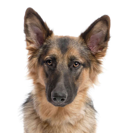 Close-up on a german shepherd (11 months old) in front of a white background Stock Photo - 5085454