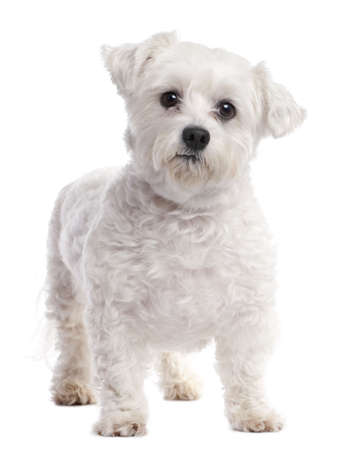 maltese dog (7 years old) in front of A white background photo