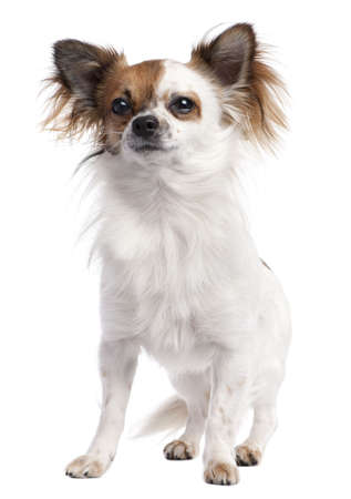 long haired chihuahua: long haired chihuahua (1 year old) in front of a white background