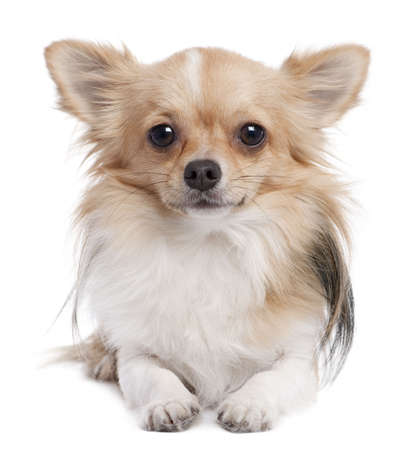 long haired chihuahua (1 year old) in front of a white background photo