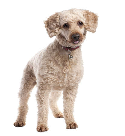 10 years old: old Poodle (10 years old) in front of white background Stock Photo
