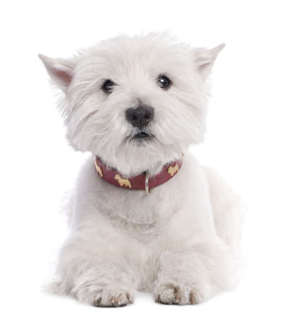 highland: West Highland White Terrier (8 years old) in front of a white background Stock Photo