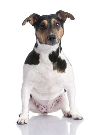 brown, black and white Jack russell sitting (2 years old) in front of a white background photo