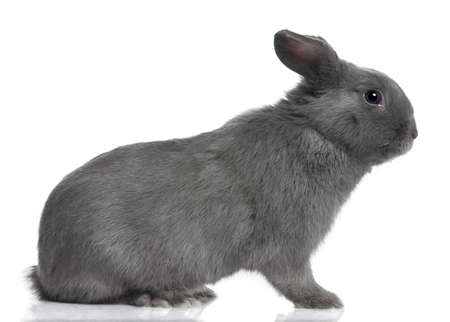 lop lop rabbit white: profile of a grey lop Rabbit (8 months old) in front of a white background
