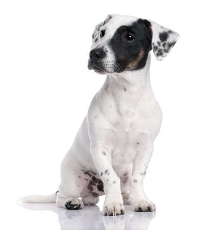 Jack russell puppy isolated and sitting in front of the camera photo