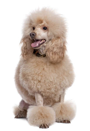 groomed: groomed apricot poodle (2 years old) in front of awhite background Stock Photo