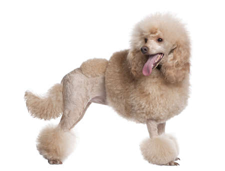 inhaling: groomed apricot poodle (2 years old) in front of awhite background Stock Photo