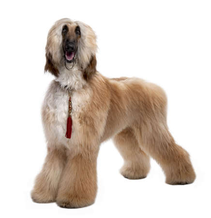 afghan: Young Brown Grommed Afghan Hound (1 years)  in front of a white background