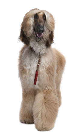 Young Brown Grommed Afghan Hound (1 years)  in front of a white background photo