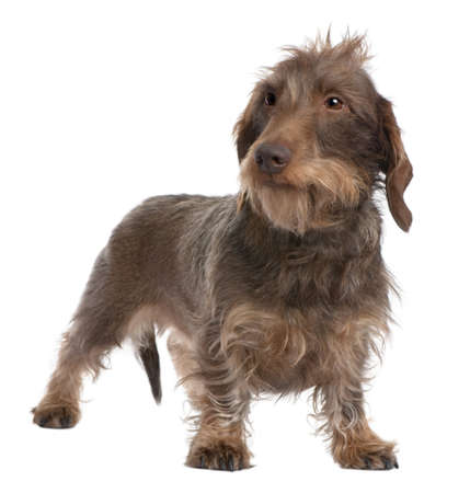 doxie: Brown Wire-haired dachshund (3 yeras old) in front of a white background
