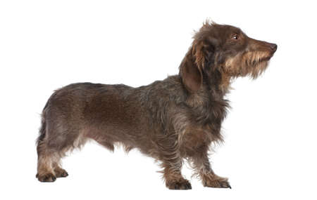 doxie: profile of a Brown Wire-haired dachshund looking up (3 yeras old) in front of a white background