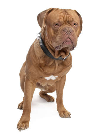 stitting: Dogue de Bordeaux (18 months old) in front of a white background Stock Photo