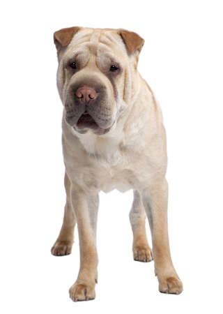 molosse: beige Sharpei (2 years old) in front of a white background