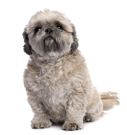grey Shih Tzu (6 years old) in front of a white background photo