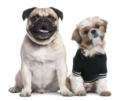 clothed: Couple of dogs : Shih Tzu dressed-up and a pug in front of a white background  Stock Photo