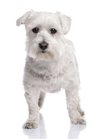 maltese dog (6 months old) in front of A white background photo