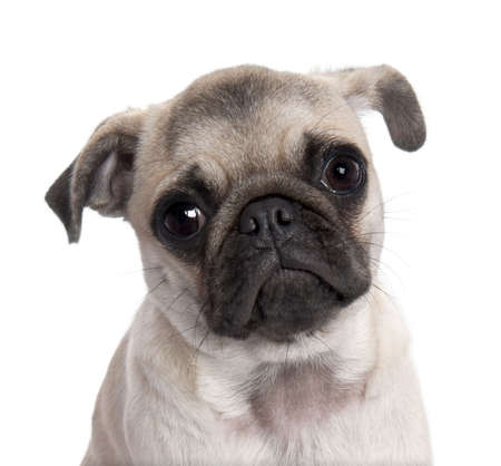 wrinkely: close-up on a pug puppy (5 months old) in front of a white background