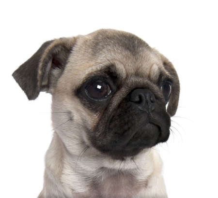 carlin: close-up on a pug puppy (5 months old) in front of a white background