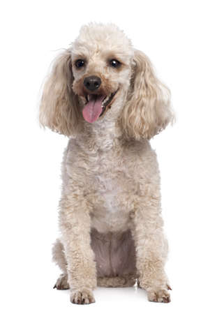 panting: apricot Poodle panting (5 years old) in front of awhite background