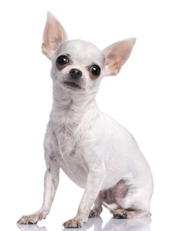 minuscule: white chihuahua (3 years old) in front of a white background Stock Photo