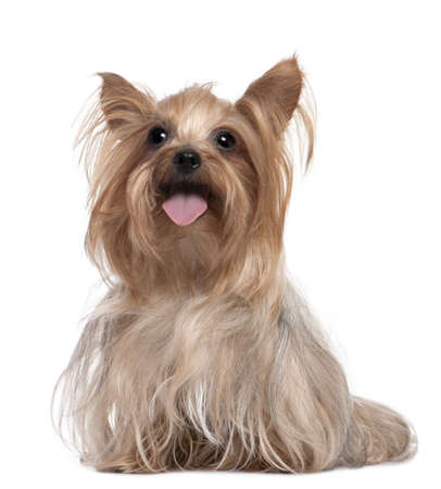 panting: Yorkshire Terrier panting (3 years old) in front of a white background