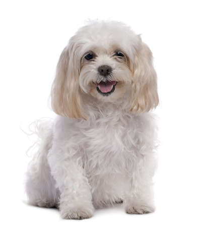 11 years: maltese dog sitting (11 years old) in front of A white background