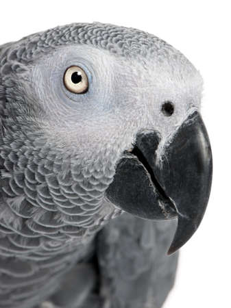 close-up on a African Grey Parrots head - Psittacus erithacus in front of a white background photo